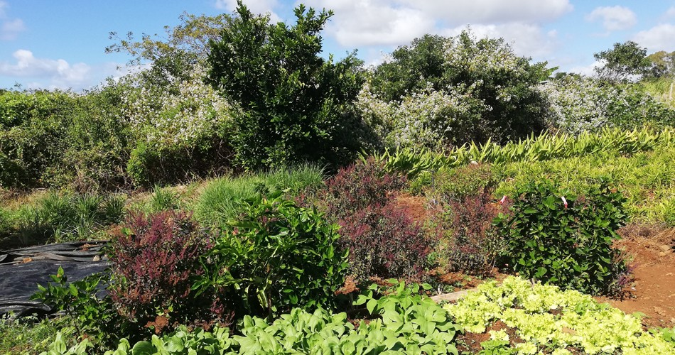 Jardin-bio-ile-maurice-feuillesetfleurs002