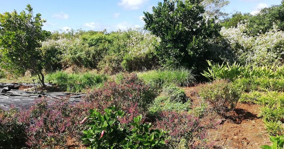 Jardin-bio-ile-maurice-feuillesetfleurs006